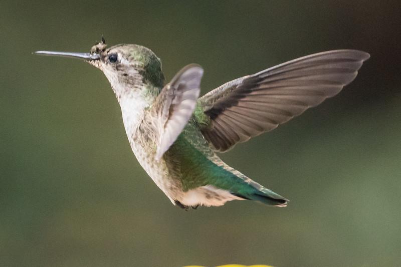 Hummingbird-9888