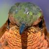 I'm a chicken hawk!