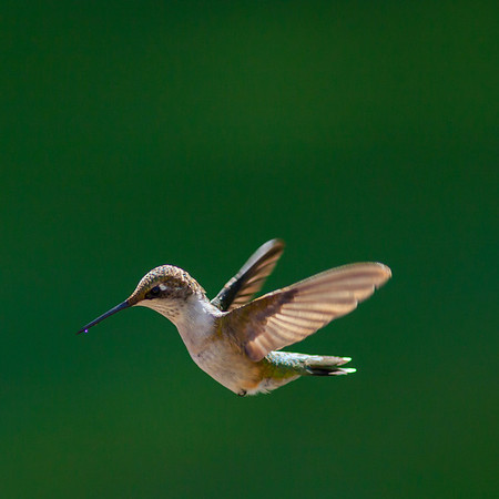 Hummingbirds September 2012
