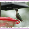 Ruby-crowned Hummingbird