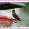 Ruby-crowned Hummingbird