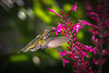 Hummingbirds at Fairchild TG :