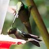 Sword-billed Hummingbird, Guango