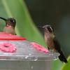Speckled Hummingbird, San Isidro