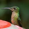 Violet-fronted Brilliant? San Isidro