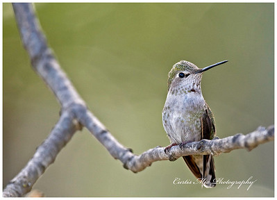 Anna's Hummingbird, female. Not sure.