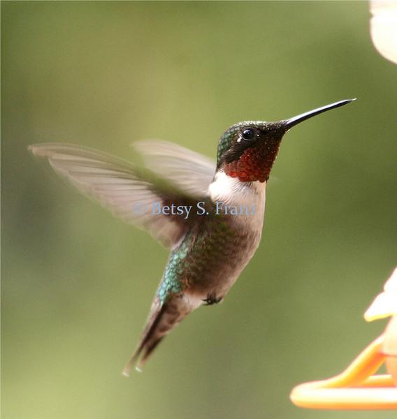 hummingbird10