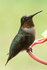 My favorite visitor - Ruby throated hummingbird