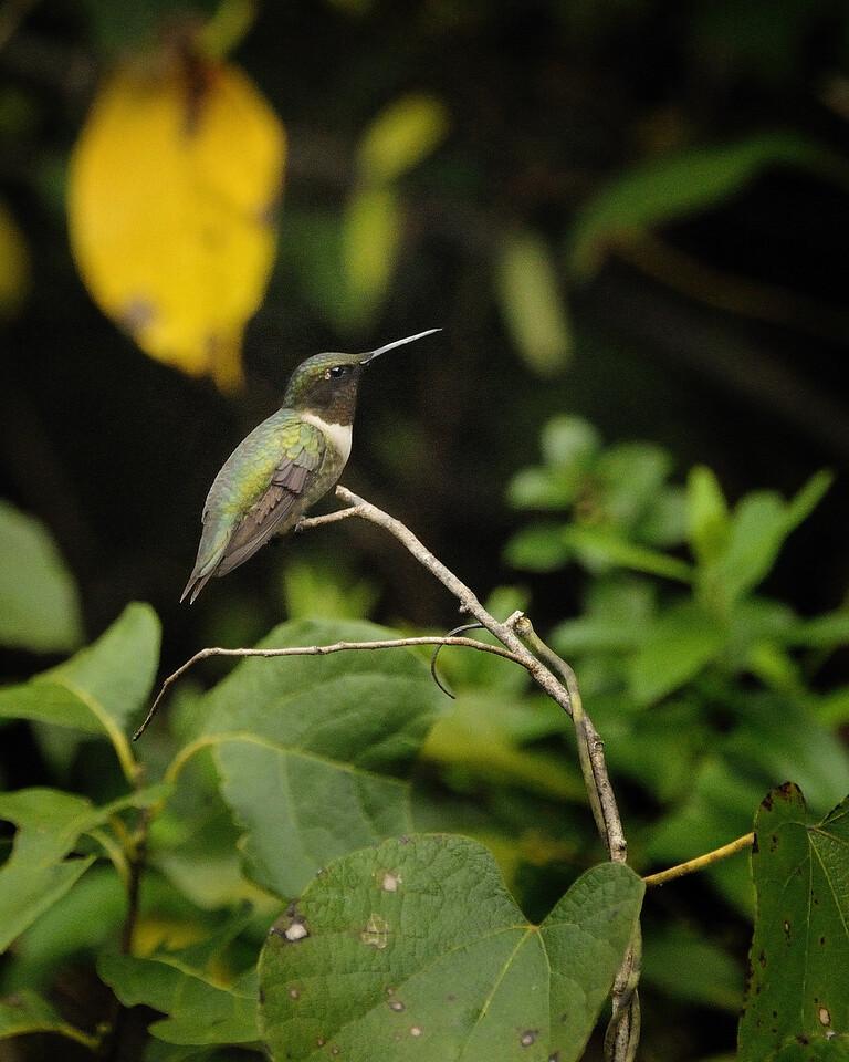 Ruby Throated Hummingbird (14) - Norfork River Arkansas