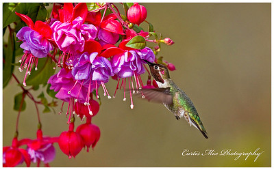 Anna's Hummingbird in morning light.