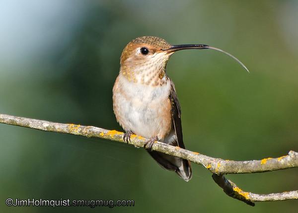 Rufous Hummingbird - near Olympia, Wa