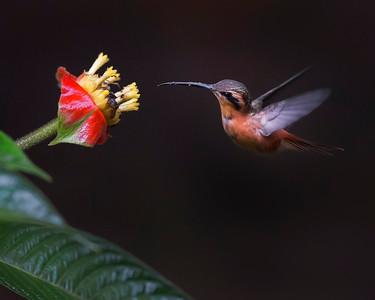 Tambopata National Reserve Reddish Hermit Hummingbird