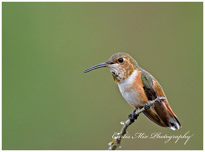 Rufous Hummingbird, female.