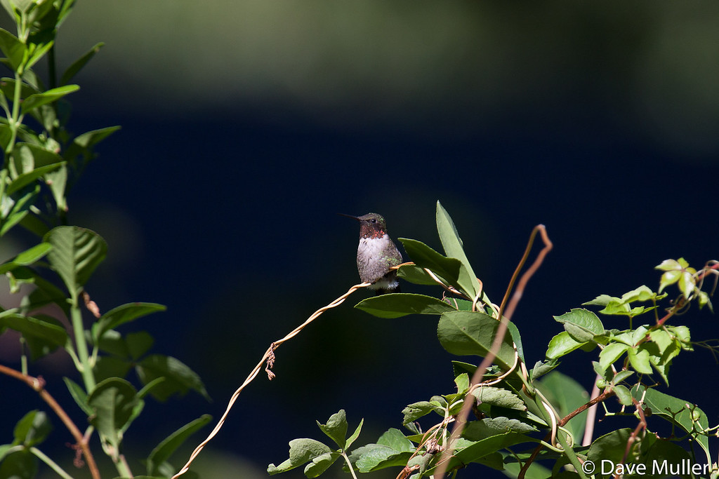 Hummingbirds_20100904-118