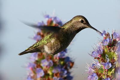 Hummingbird, Palo Alto Baylands (Duck Pond)