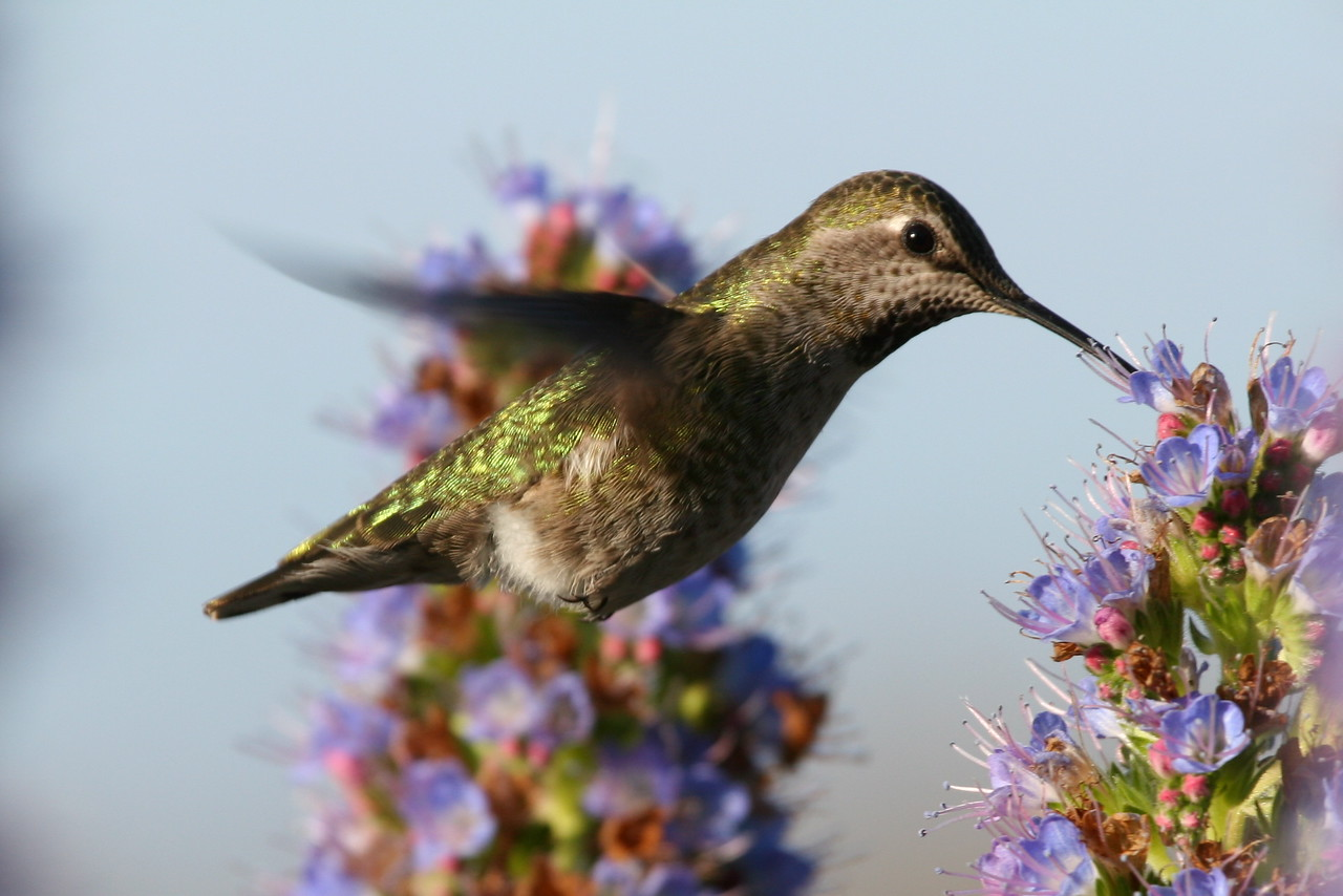 Hummingbird, Palo Alto Baylands (Duck Pond)