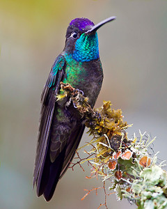 This photograph of a Magnificent Hummingbird was captured in Costa Rica (4/12).   This photograph is protected by the U.S. Copyright Laws and shall not to be downloaded or reproduced by any means without the formal written permission of Ken Conger Photography.