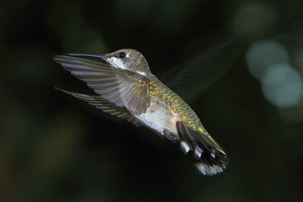 Hummingbird in Motion