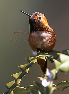 Humming Birds at Arboretum in Santa Cruz