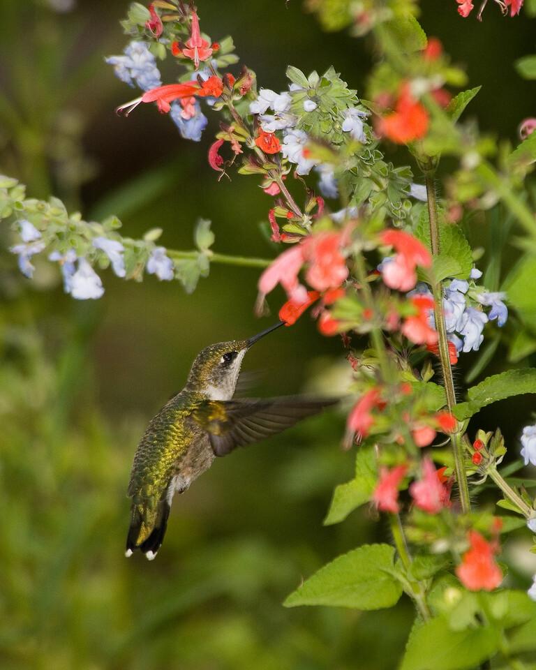 Ruby Throated Hummingbird (4)