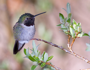 This female Broad-tailed Hummingbird photograph was captured near in the Mt. Evans, Colorado area (6/07).   This photograph is protected by the U.S. Copyright Laws and shall not to be downloaded or reproduced by any means without the formal written permission of Ken Conger Photography.