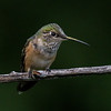 Rufous Hummingbird - female (Selasphorous rufus)