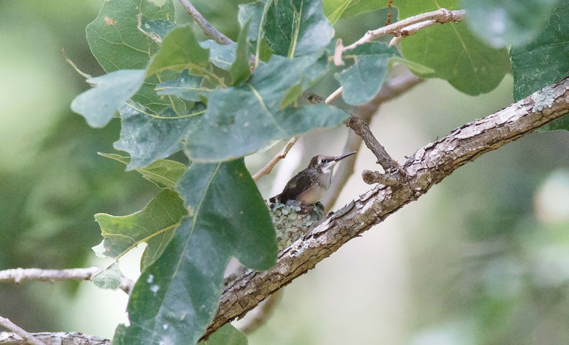 Ruby-Throated Hummingbird about to leave nest