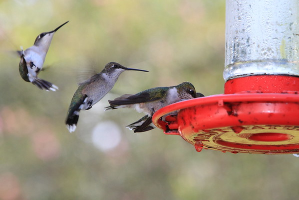 Hummingbird Sequence