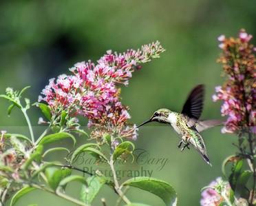 Hummingbirds 092 copy