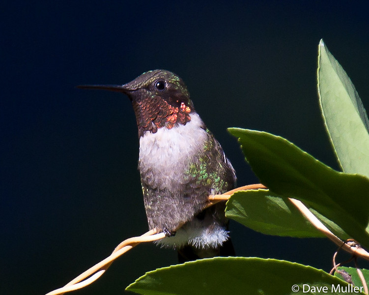 Hummingbirds_20100904-119