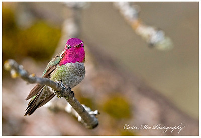 Face shot. Anna's Hummingbird, male.