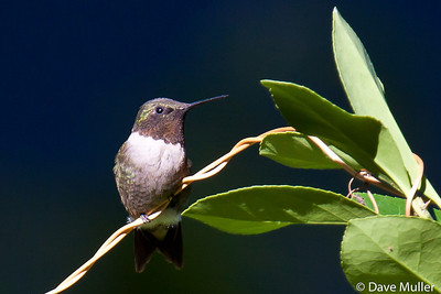 Hummingbirds_20100904-96
