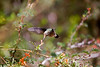 Feeding hummingbird # 2