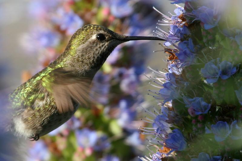 hummingbirds pn