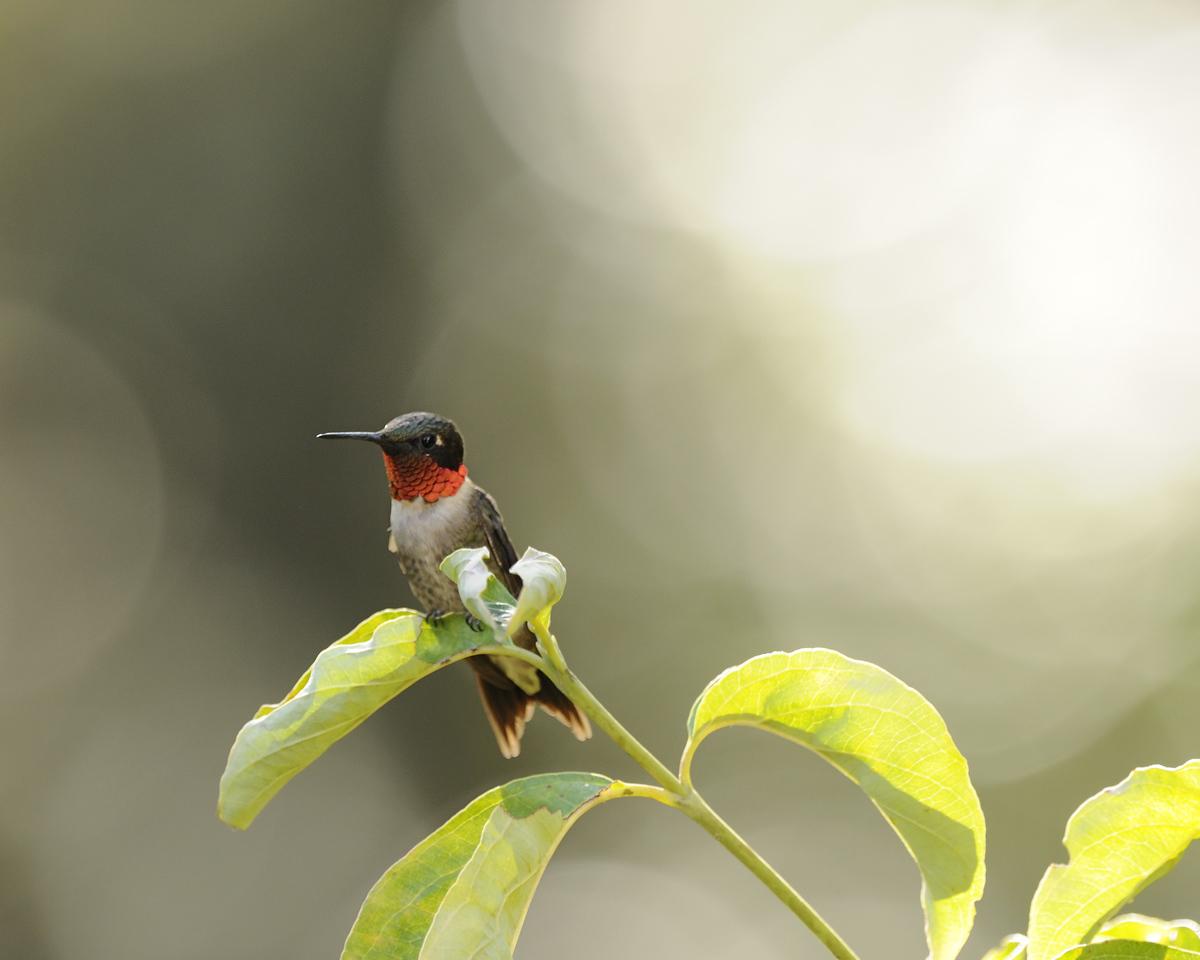 Ruby Throated Hummingbird (23) - Norfork Arkansas