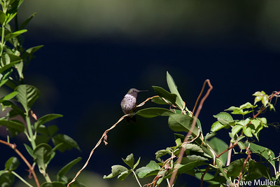 Hummingbirds_20100904-105