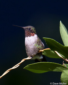 Hummingbirds_20100904-115
