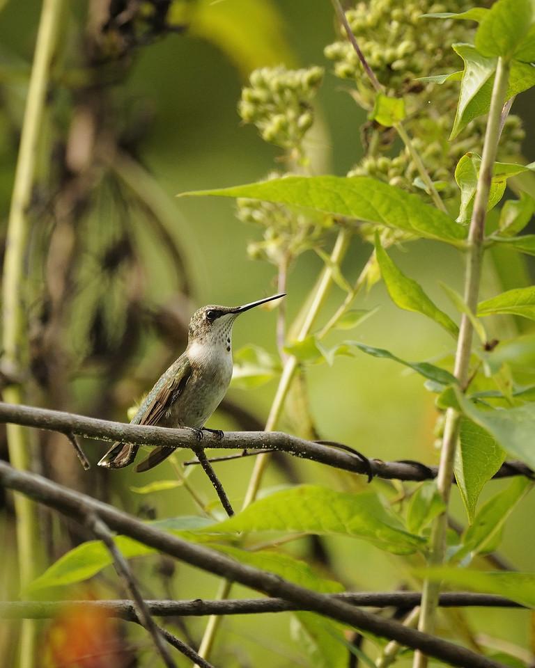 Ruby-throated hummingbird. Norfork River. Norfork, Arkansas. September 2009.
