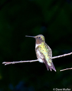 Hummingbirds_20100904-48
