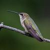 Black-chinned Humminbird - female (Archilochrus alexandri)