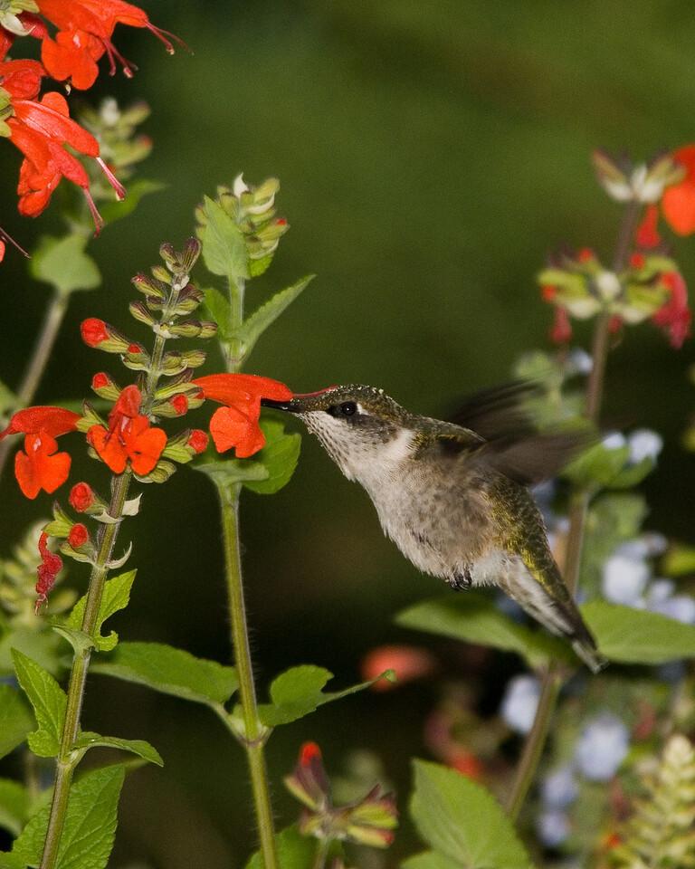 Ruby Throated Hummingbird (2)