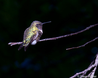 Hummingbirds_20100904-8