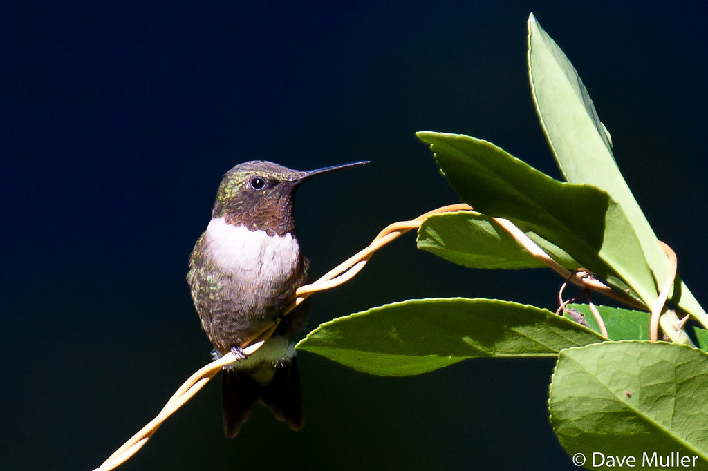 Hummingbirds_20100904-93