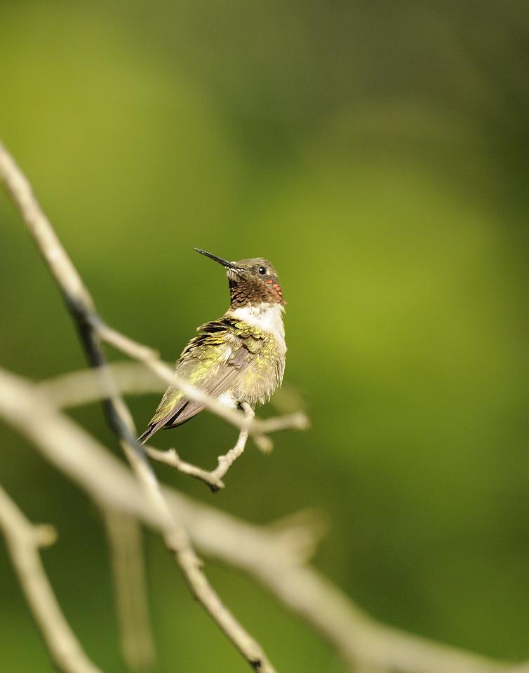 Ruby Throated Hummingbird (19)