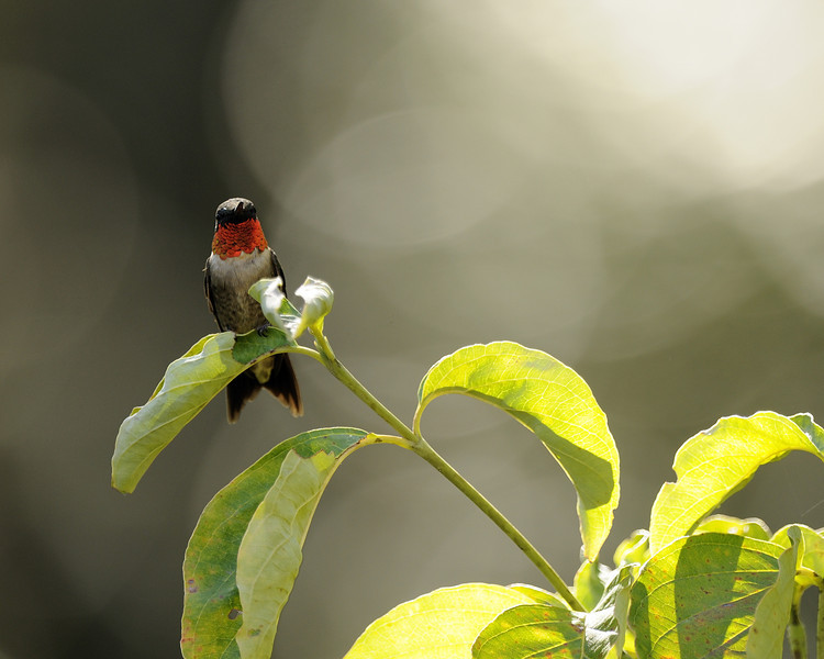 Ruby Throated Hummingbird (22) Norfork Arkansas