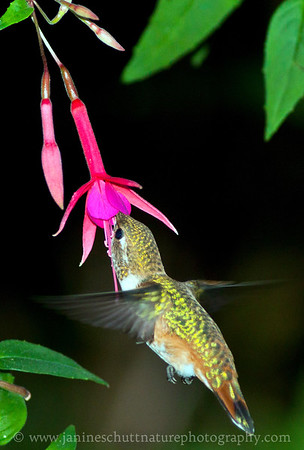 Female Rufous Hummingbird sipping nectar from a Caledonia trailing fuchsia. Photo taken near Bremerton, Washington.