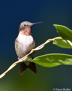Hummingbirds_20100904-82