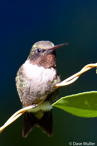 Hummingbirds_20100904-91