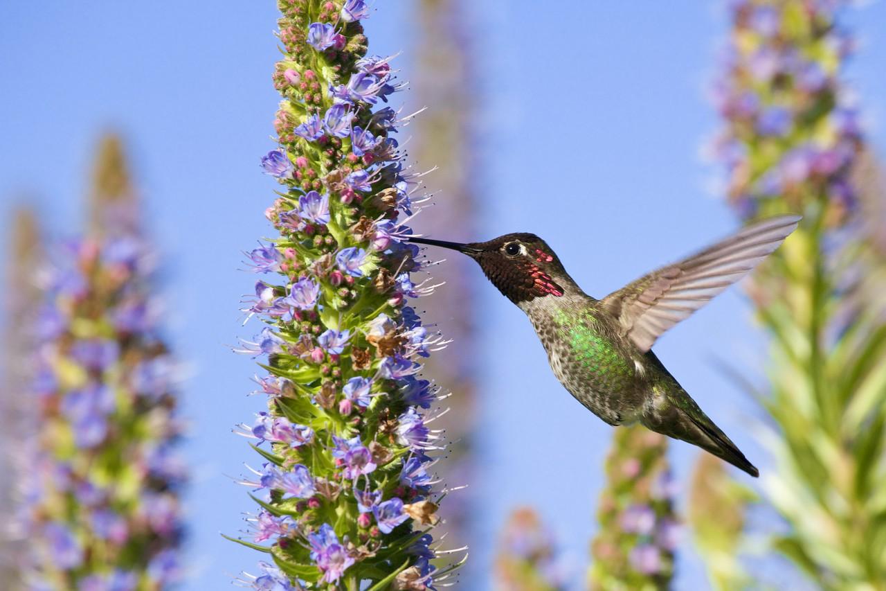 Hummingbirds  8635
