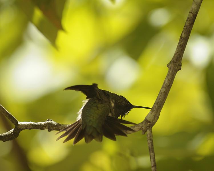 Ruby Throated Hummingbird (21) - Norfork Arkansas